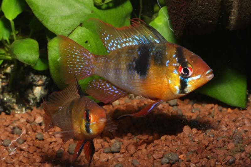 Schemetterlingsbuntbarsche im Aquarium halten