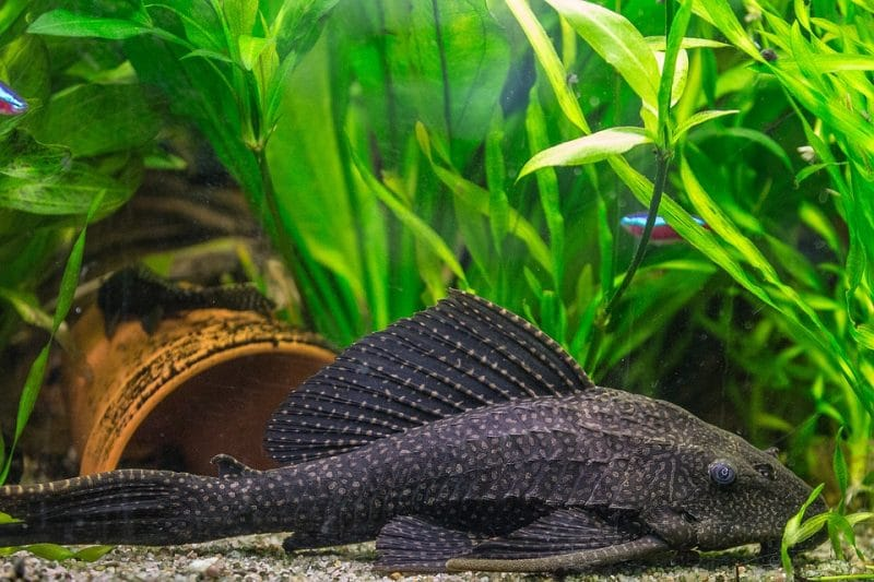 Pleco-Wels im Aquarium