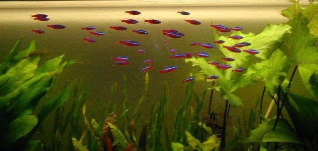 Gruppe Rote Neons im Aquarium halten