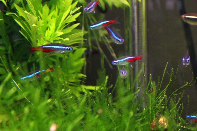 Wie viele Fische im Aquarium