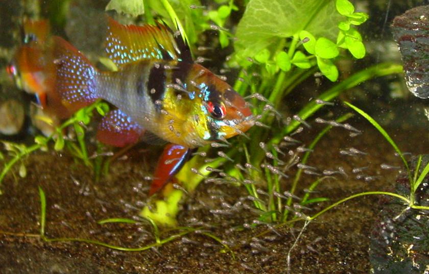 Schemetterlingsbuntbarsche mit Nachwuchs Aquarium