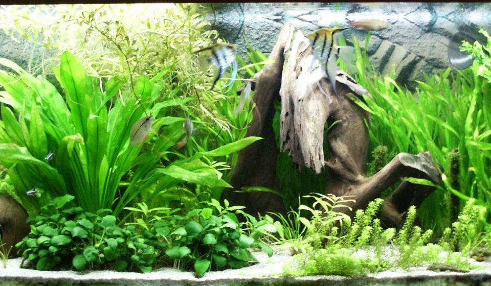 450 Liter Aquarium mit Scalaren