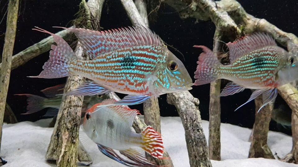 Erdfresser im 450 Liter Aquarium