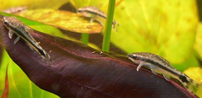 Längsstreifen-Ohrgitterharnischwels im Aquarium halten