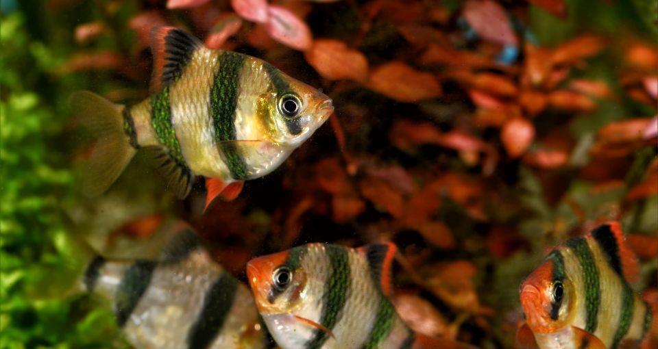 Barben im 350-450 Liter Aquarium halten