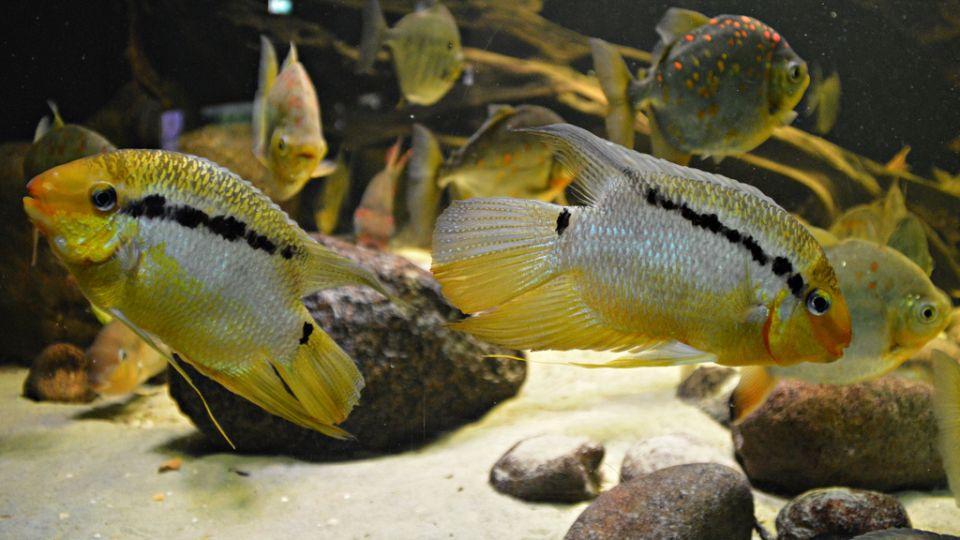 Flaggenbuntbarsche im 450 Liter Aquarium