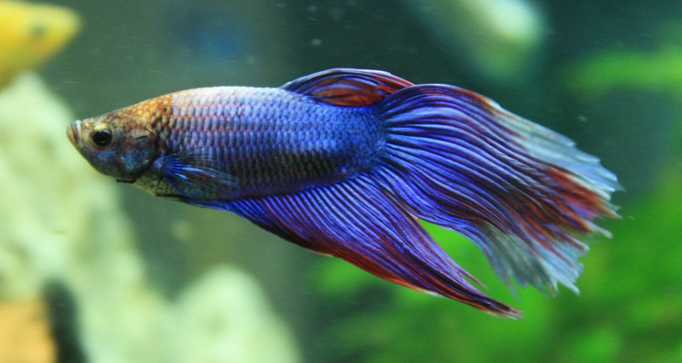 Kmapffische (Betta Splendens) im Nano-Aquarium