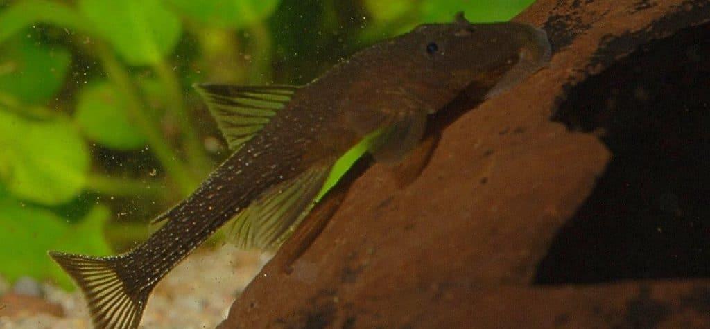 L 44 im 60 Liter Aquarium