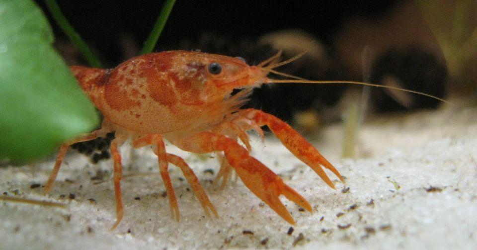 Zwergkrebse im 20 Liter Nano Aquarium halten