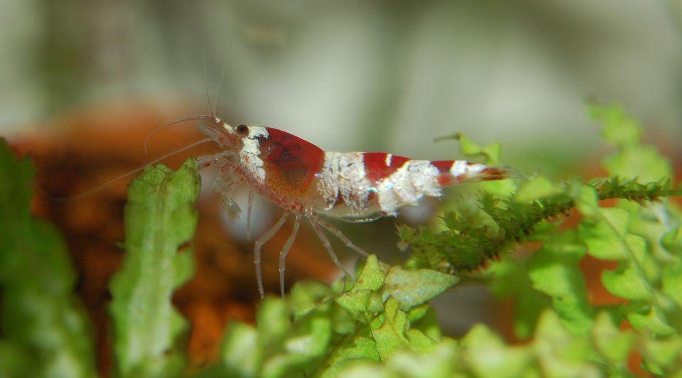 Zwerggarnelen im 10 Liter Nano Aquarium halten