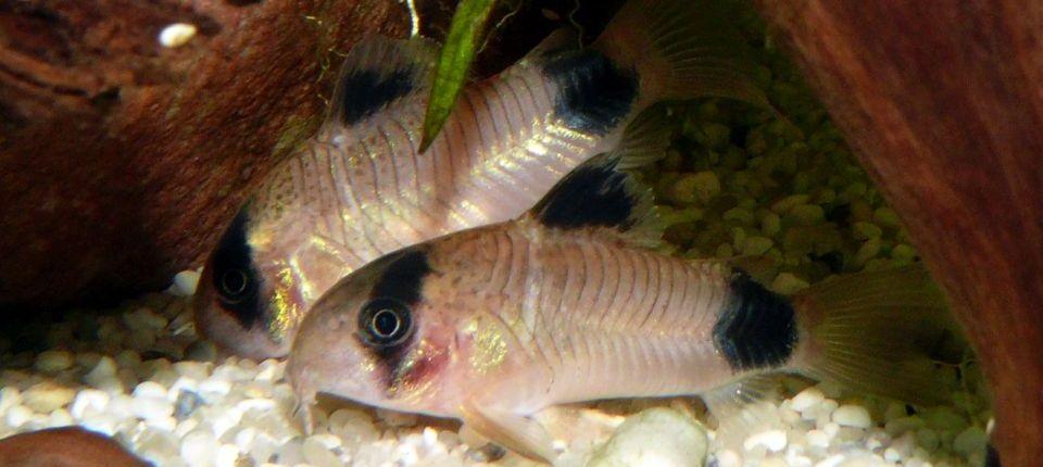 Panzerwelse im Aquarium halten