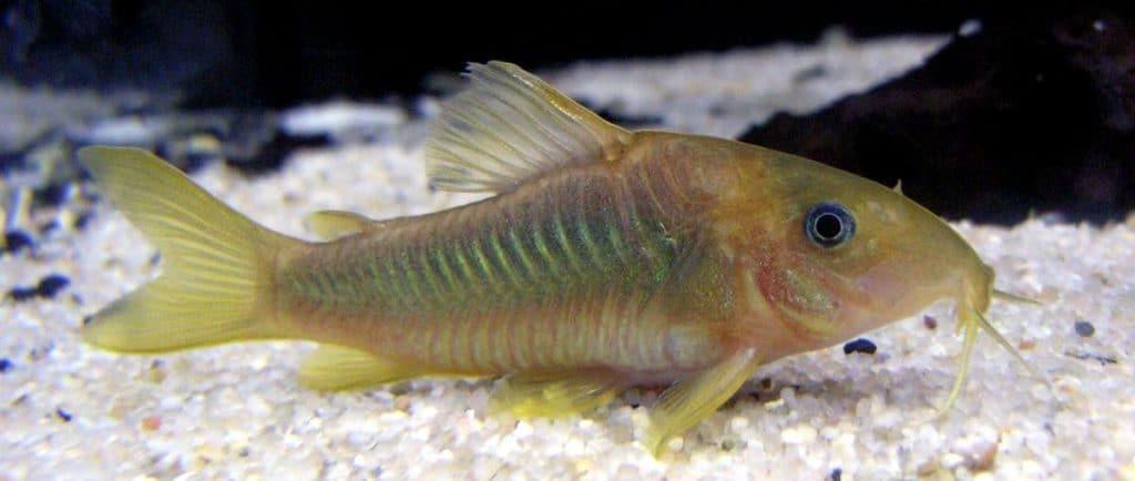 Metallpanzerwels als Putzerfisch im Aquarium