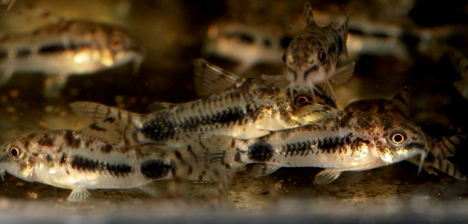 Corydoras Pygmaeus im Aquarium