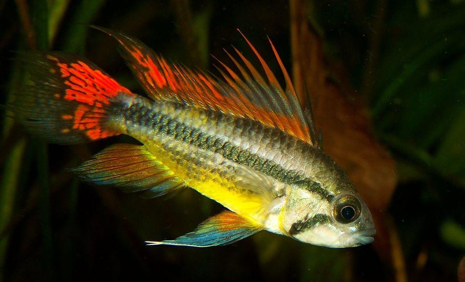Kakadu-Zwergbuntbarsche im Aquarium halten