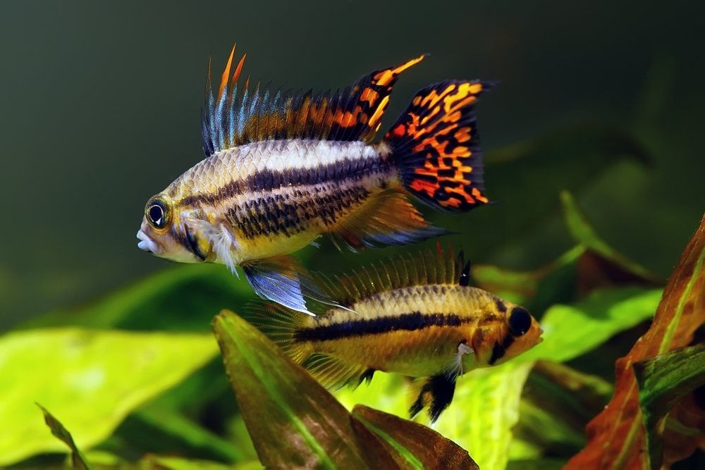 Kakaduzwergbuntbarsche im 180 Liter Aquarium halten