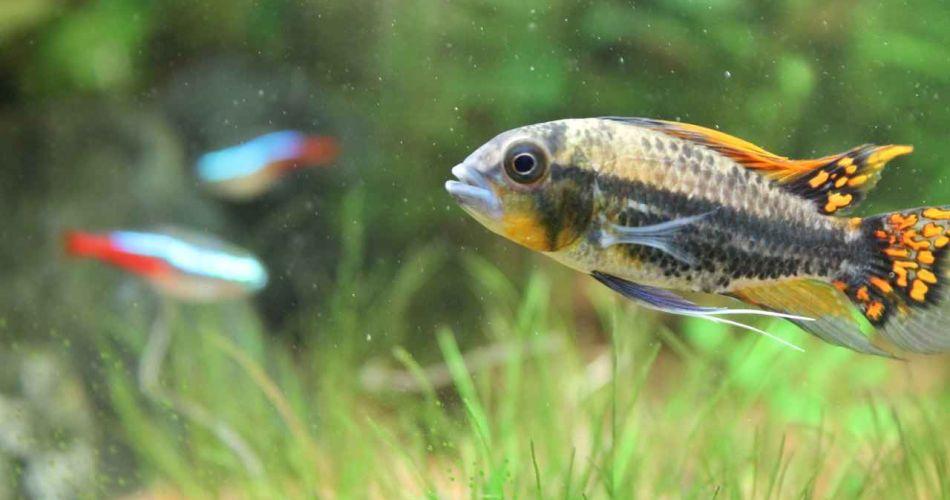 Kakaduzwergbuntbarsche im Aquarium