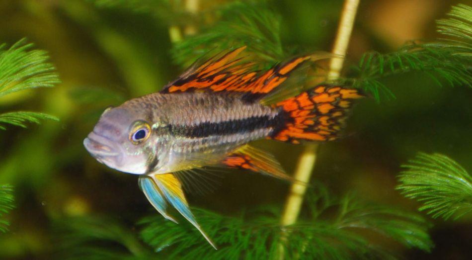 Apistogramma Cactuoides im Aquarium halten