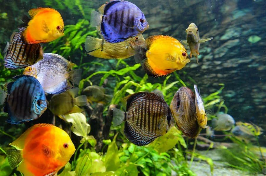 Diskus im Aquarium halten