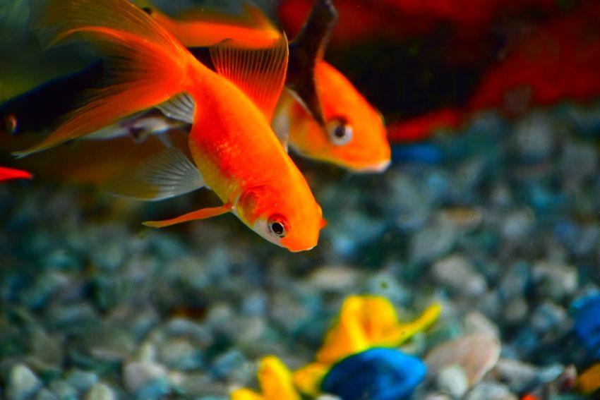 Goldfische Haltung im Aquarium