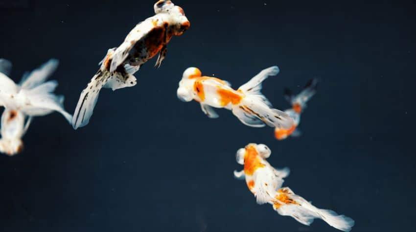 Goldfische mit Jungtieren