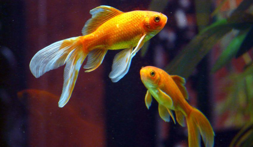 Goldfische während der Paarungszeit