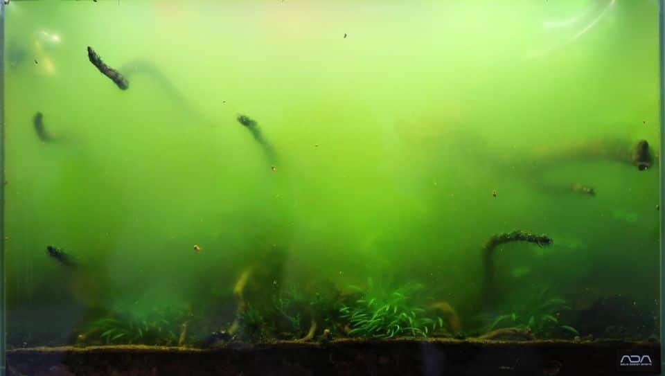 Grüne Schwebealge / Staubalge im Aquarium