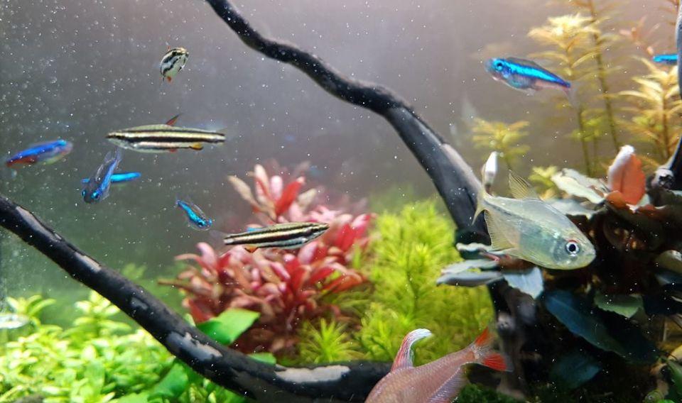 Fische fürs 60 Liter Aquarium