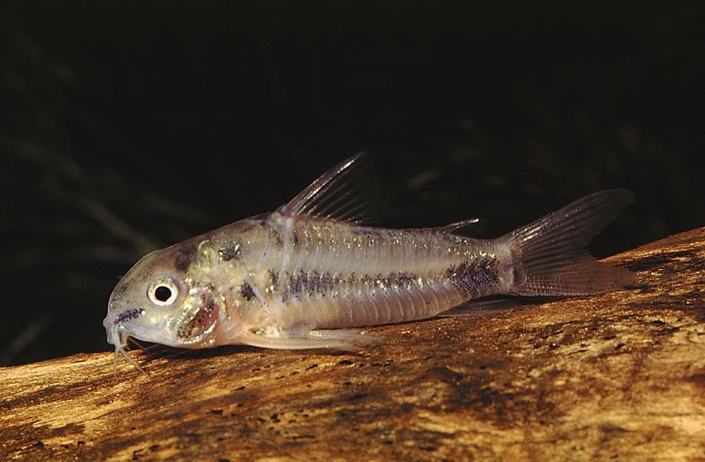 Corydoras habrosus im Aquarium