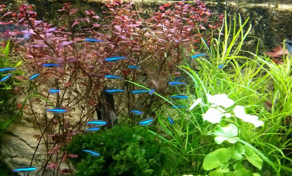 Schwarm blauer Neons im Aquarium
