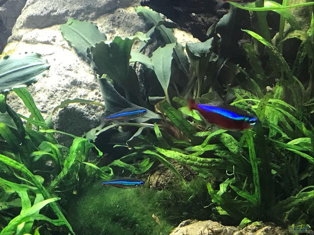 Wie hält man rote Neons im Aquarium
