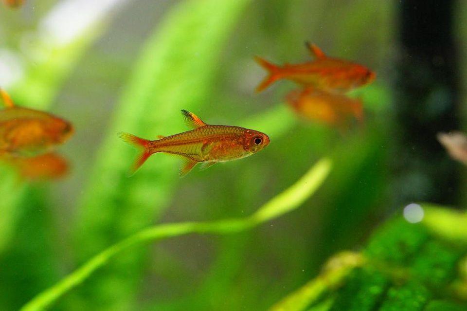 Gruppe ausgewachsener Feuertetra schwimmt im Aquarium