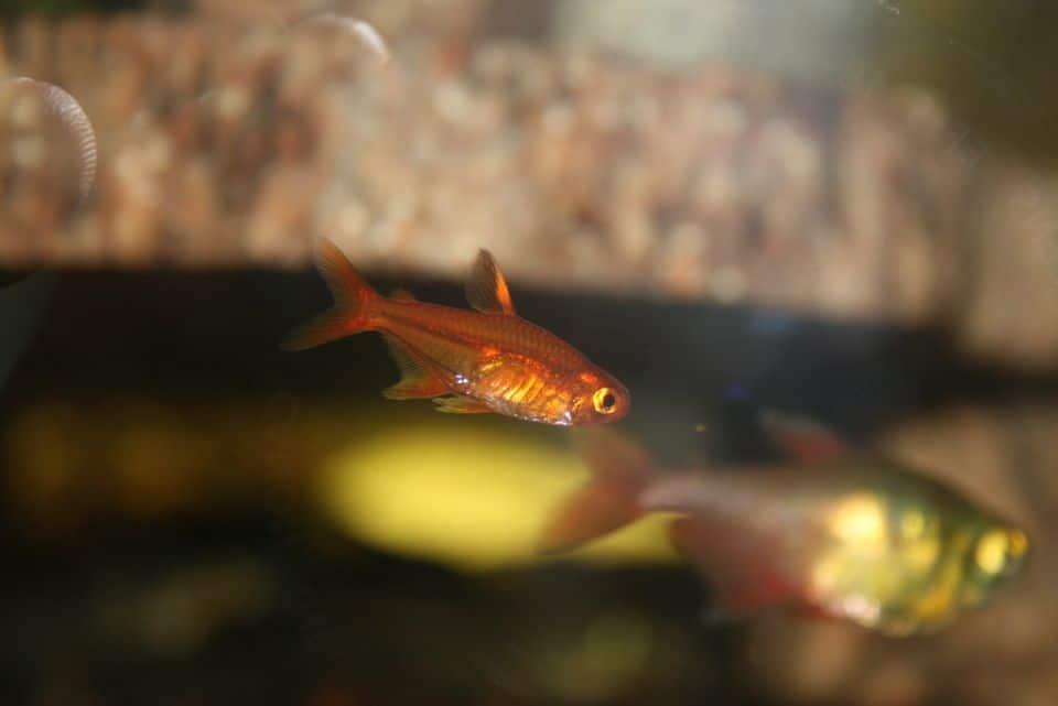 Feuertetra schwimmt im dunklen Arten-Aquarium