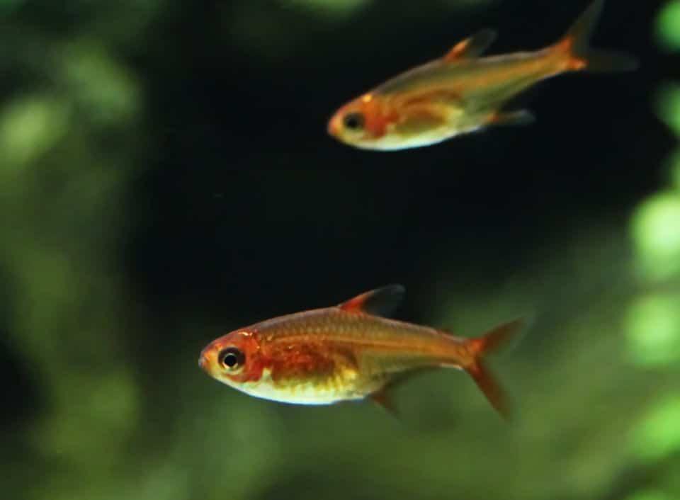 Feuertetra schwimmt im Aquarium
