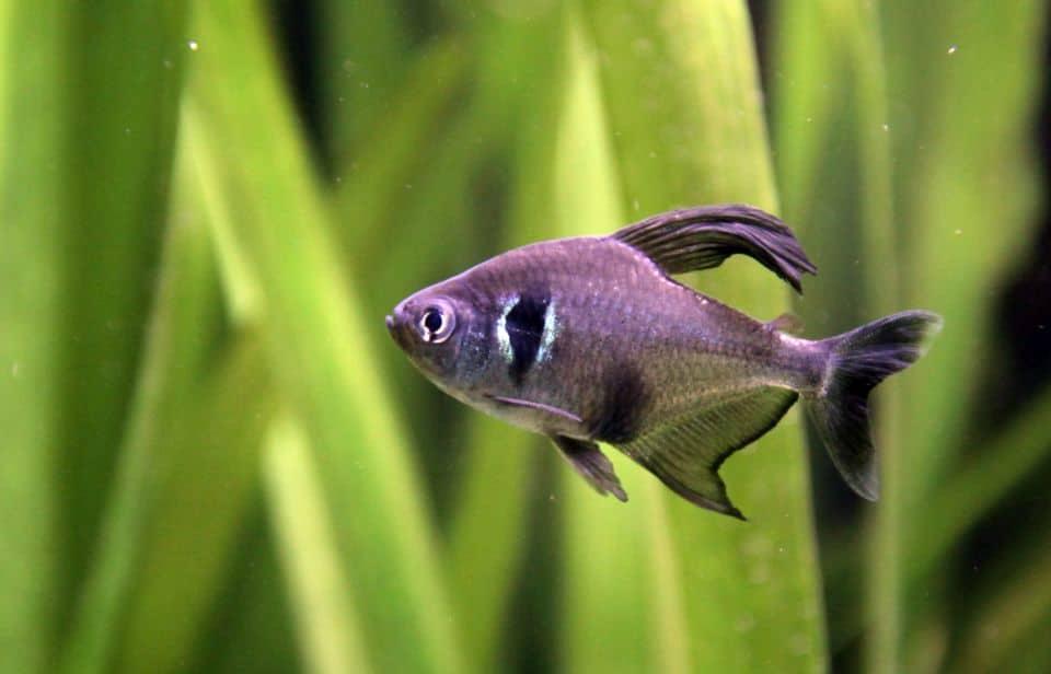Schwarzer Phantomsalmler schwimmt alleine im Aquarium