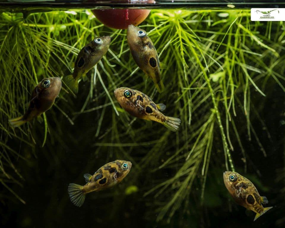 Fütterung von Erbsenkugelfisch im Aquarium