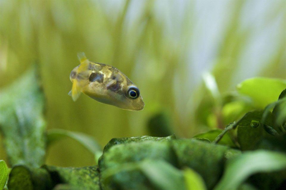Erbsenkugelfisch schwimmt im Aquarium