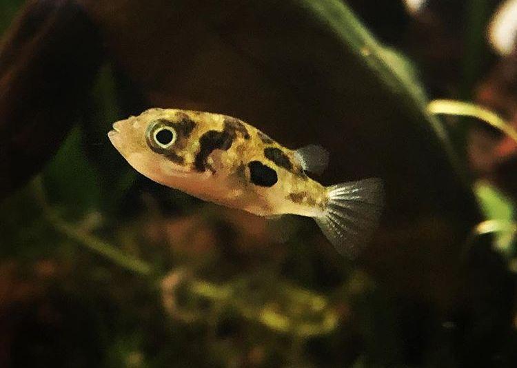 zwergkugelfisch-schwimmt-im-aquarium