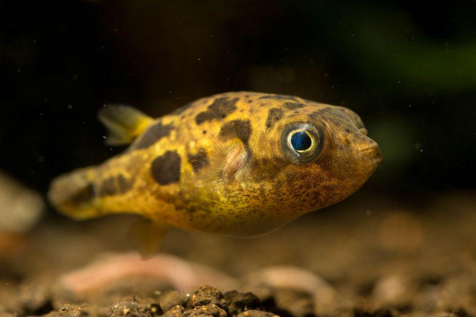 Aussehen des Erbsenkugelfisch von nahem