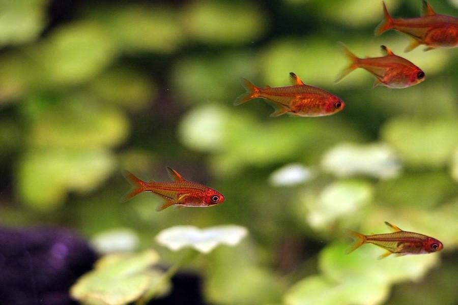 Feuertetra im Aquarium züchten
