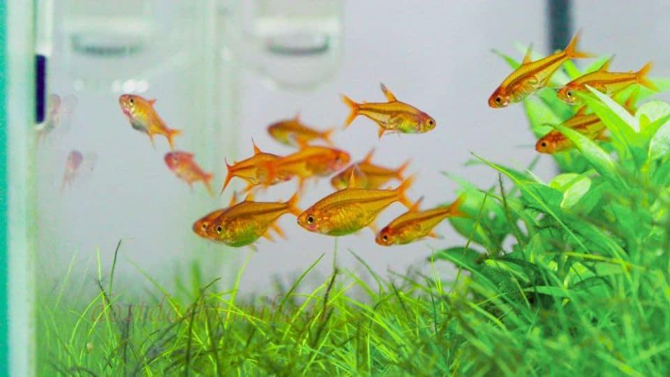 Schwimmfreudige Feuertetra im Aquarium