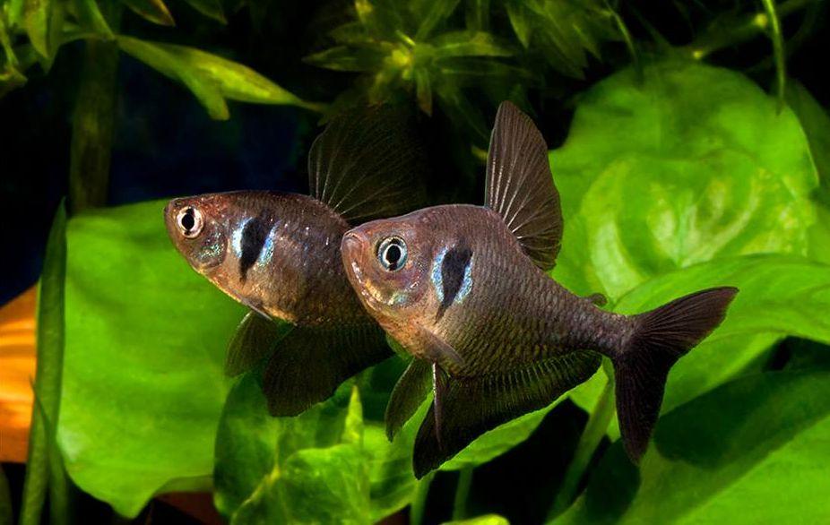 Schwarze Phantomsalmler im Aquarium züchten