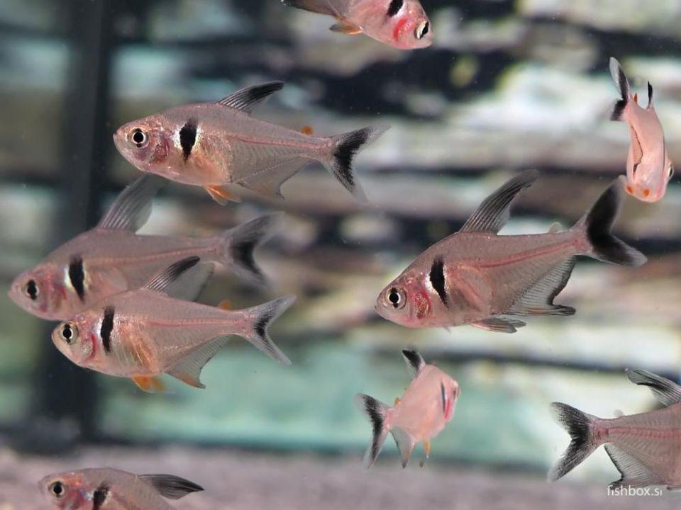 Schwarze Phantomsalmler schwimmen im Aquarium
