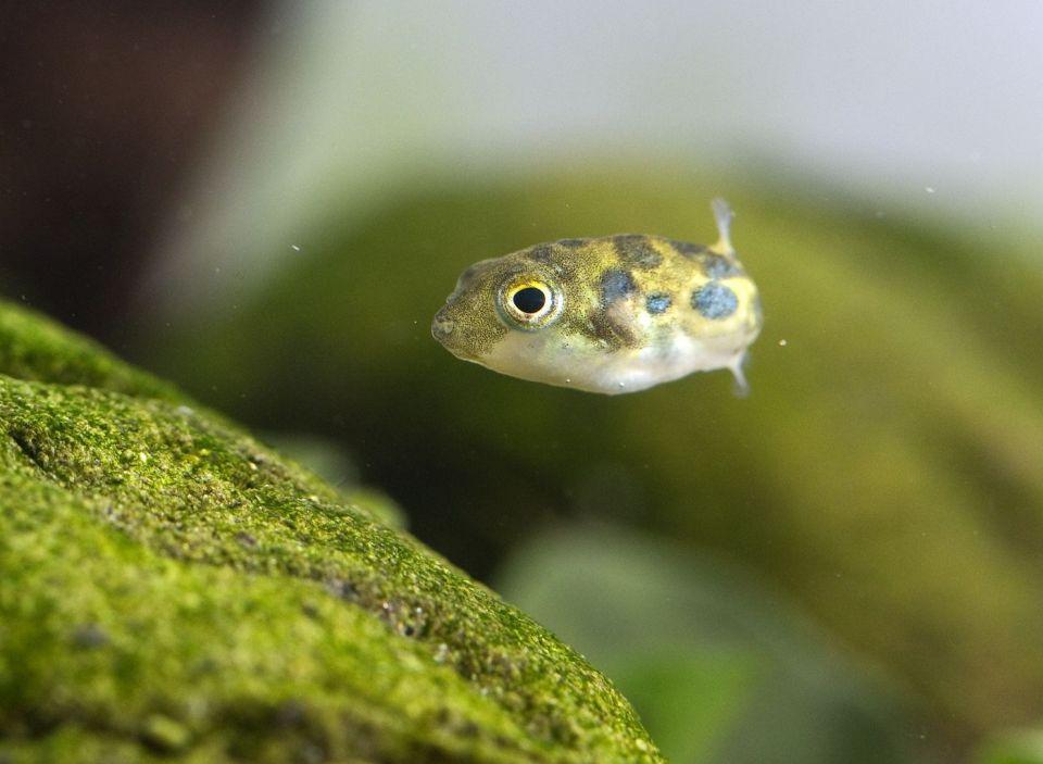 Einzelner Erbsenkugelfisch im Aquarium