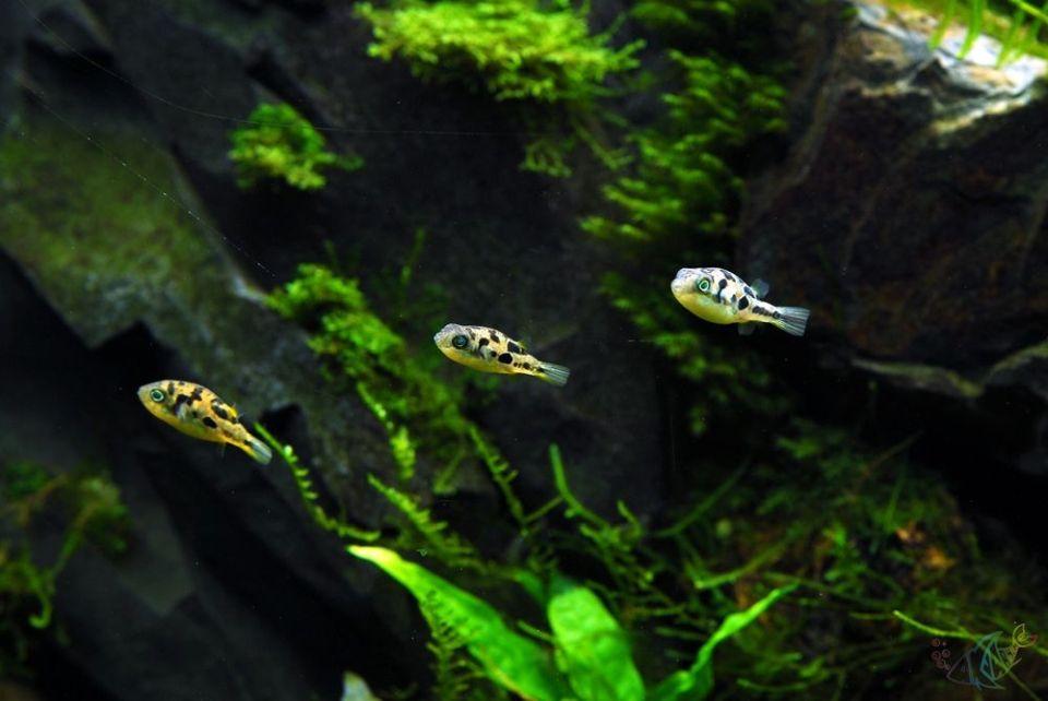 erbsenkugelfisch-im-aquarium