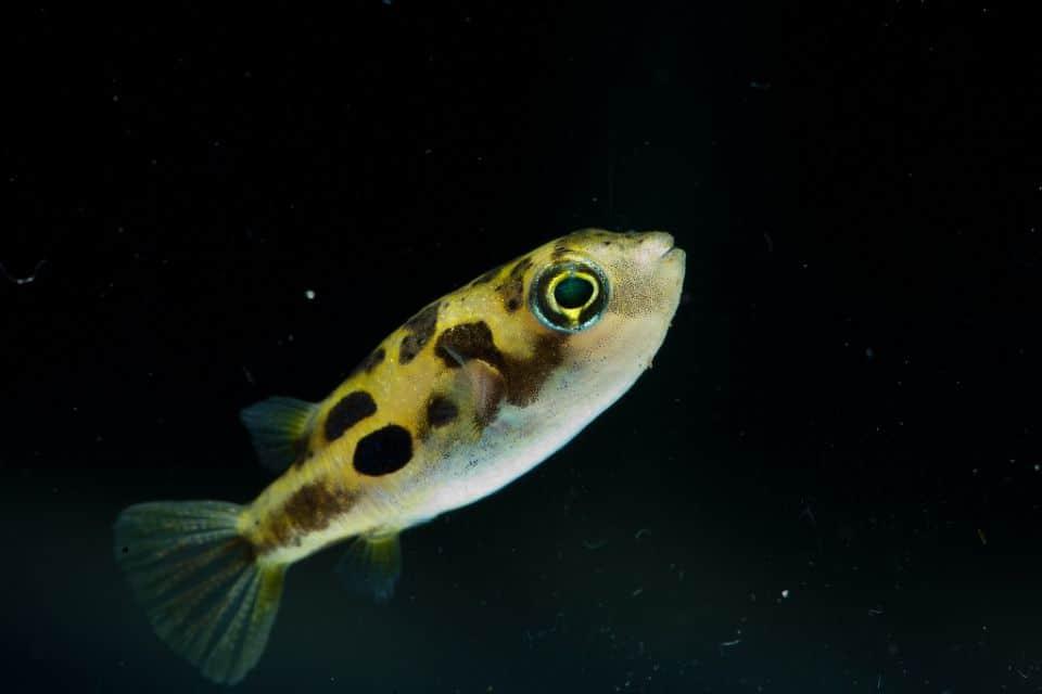 erbsenkugelfisch-haltung-im-aquarium