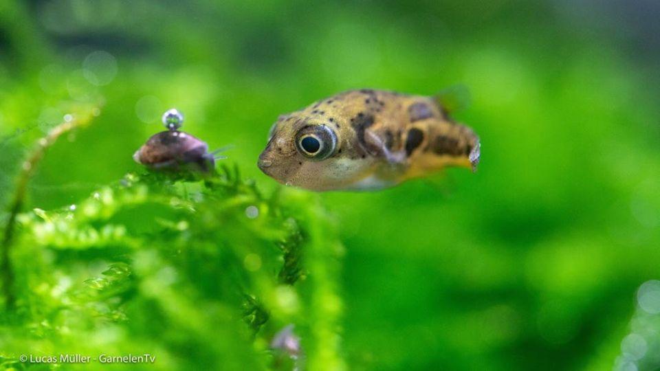 Einzelner Erbsenkugelfisch sucht Schnecken im Aquarium