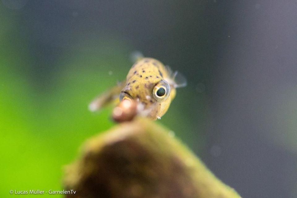 Einzelner Erbsenkugelfisch jagd Schnecken im Aquarium