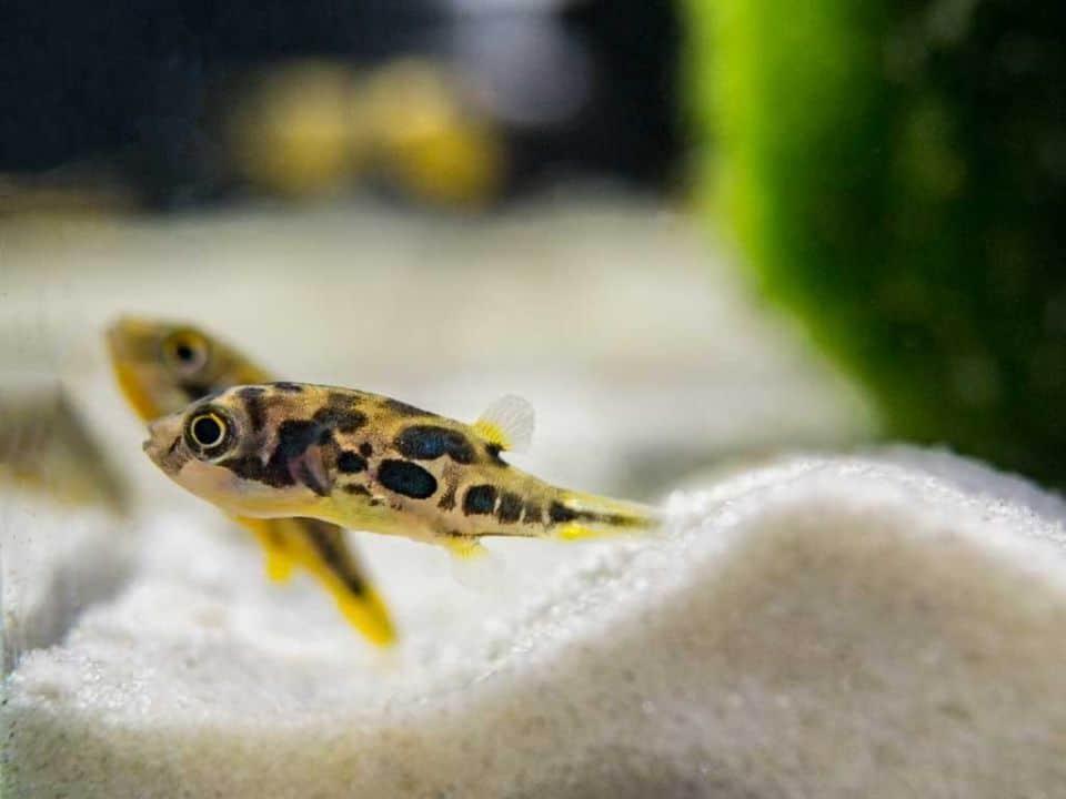 zwergkugelfisch-paarung-im-aquarium
