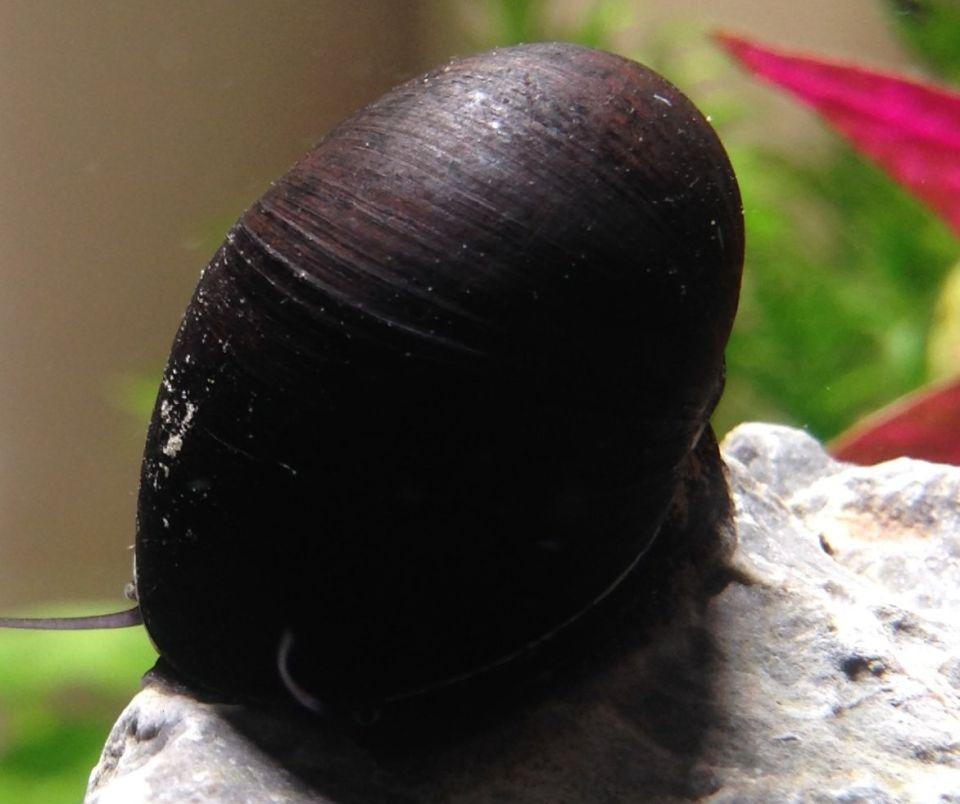 Anthrazit-Napfschnecke als Putzerfisch im Aquarium