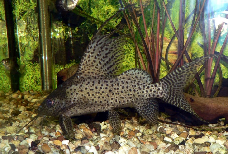 Hochflossen Fiederbartswels schwimmt im Aquarium